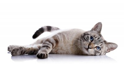 Adesivo The striped blue-eyed cat lies on a white background.