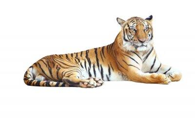 Adesivo Tiger guardando fotocamera con tracciato di ritaglio su sfondo bianco