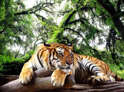 Adesivo Tiger guardando qualcosa sulla roccia nella foresta tropicale sempreverde