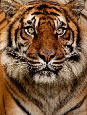 Adesivo Tiger portrait