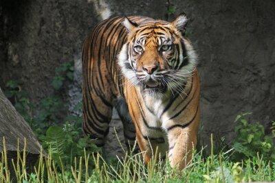 Adesivo Tigre di Sumatra dello zoo di Varsavia. Giornata di sole estivo.