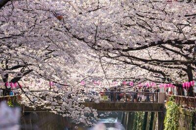 Adesivo TOKYO, GIAPPONE - 30 Marzo: Turista che cattura non identificato foto con il fiore di ciliegia preso 30 marzo 2015 nella zona di Naga Meguro, Tokyo. Questa zona è posto sakura popolari di Tokyo con be