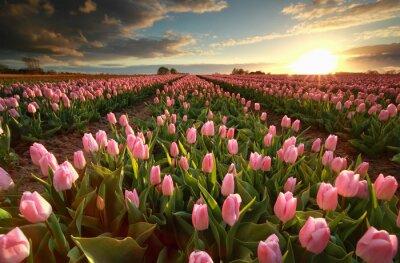 Adesivo Tramonto sul campo di tulipani rosa
