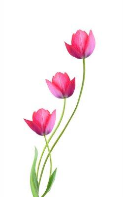 Adesivo Tre fiori di tulipano isolati su sfondo bianco