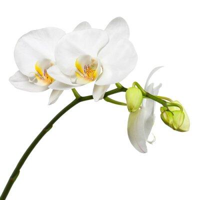Adesivo Tre giorni vecchio orchidee bianche isolato su sfondo bianco.