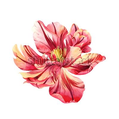 Adesivo Tulipano isolato di rosa dell'acquerello su fondo bianco