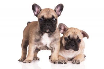 Adesivo two beige french bulldog puppies on white