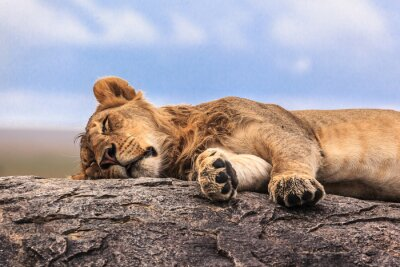 Adesivo Una leonessa dormire su roccia nel Serengeti NP, Tanzania, Africa