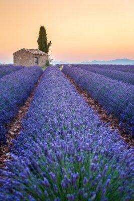 Adesivo Valensole, Provenza, Francia. Campo di lavanda pieno di fiori viola