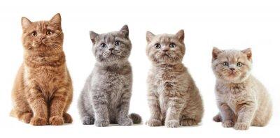 Adesivo vari gattini britannici