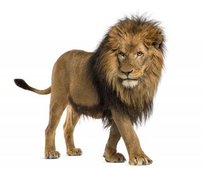Adesivo Vista laterale di una passeggiata Lion, Panthera Leo, 10 anni