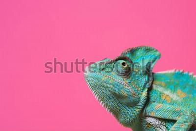 Adesivo vista ravvicinata del camaleonte esotico colorato carino isolato su rosa