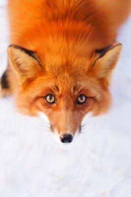 Adesivo volpe rossa