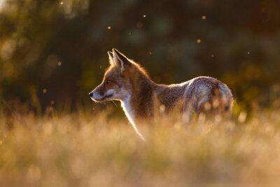 Adesivo volpe rossa in bella luce