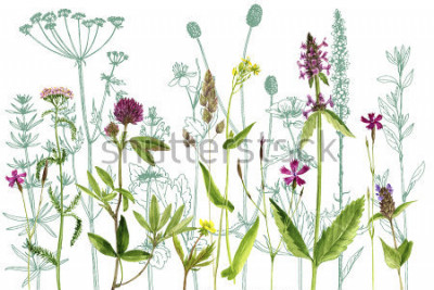Adesivo watercolor drawing wild plants with flowers,buds and leaves, painted botanical illustration in vintage style, color floral template, hand drawn natural background