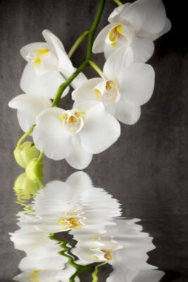 Adesivo White orchid on the grey background.