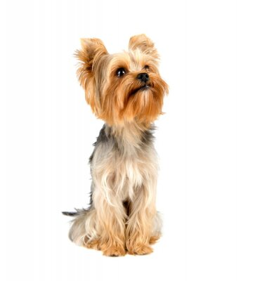 Adesivo Yorkshire Terrier