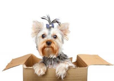 Adesivo Yorkshire Terrier in scatola di cartone