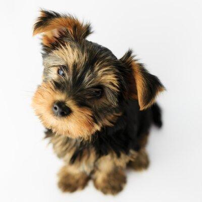 Adesivo Yorkshire terrier - ritratto di un simpatico cucciolo