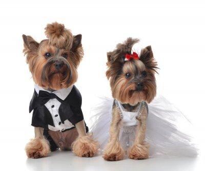 Adesivo Yorkshire Terrier vestita per il matrimonio come scopa e sposa s