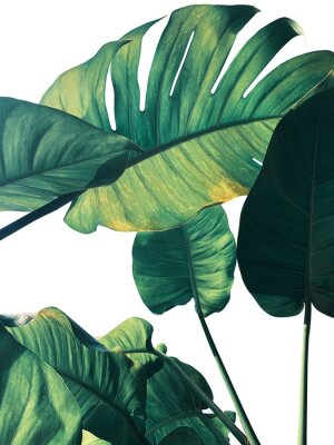 Carta da parati Abstract tropical green leaves pattern on white background, lush foliage of giant golden pothos or Devil's ivy (Epipremnum aureum) the tropic plant..