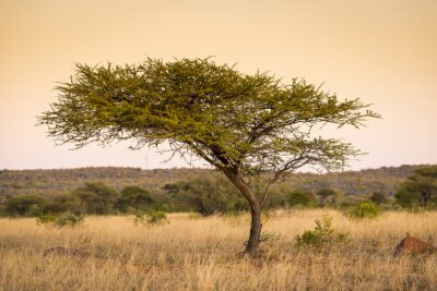 Carta da parati Acacia Africa