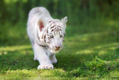 Carta da parati adorabile cucciolo di tigre bianca che cammina sull'erba