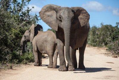 Carta da parati African Elephants in South African Park