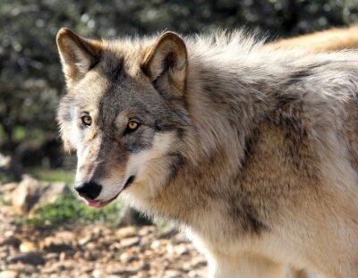 Carta da parati Alaskan lupo grigio Ritratto