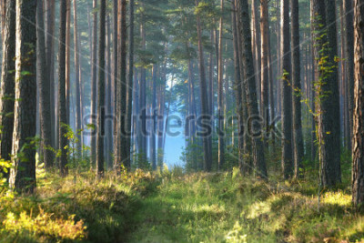 Carta da parati Alba nebbiosa nella foresta di latifoglie in Lettonia.