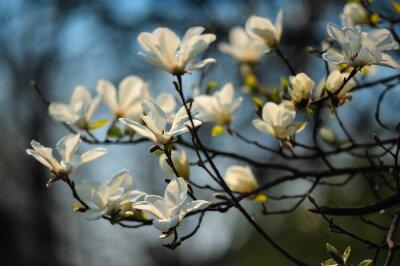 Carta da parati Albero di primavera in fiori, magnolia