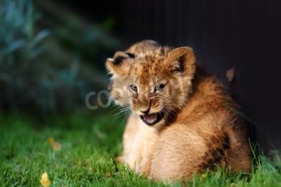 Carta da parati Alert piccolo cucciolo di leone con pelliccia marrone in outdoore