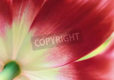 Carta da parati Alto vicino rosso del tulipano, priorità bassa astratta della sorgente