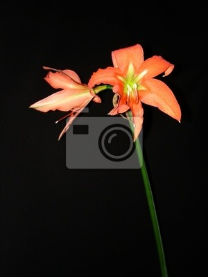 Amaryllis Rosso Fiore Su Sfondo Nero Carta Da Parati Carte Da