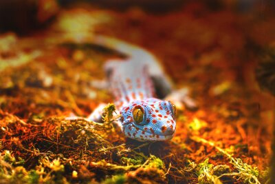 Carta da parati animale esotico tokay gecko lucertola