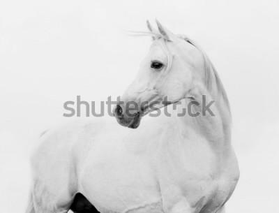 Carta da parati arab horse in high key