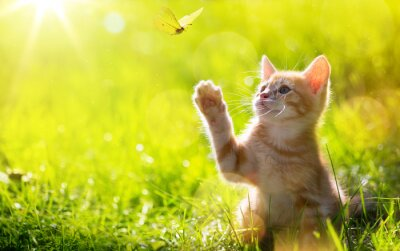 Carta da parati art Young cat / kitten hunting a butterfly with Back Lit