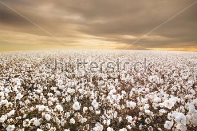 Carta da parati Beautiful Cotton Field in Texas with morning Sunrise