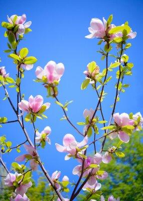 Carta da parati Beautiful Flowers magnolia rosa su sfondo blu cielo. Primavera floreale Immagine