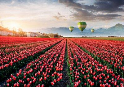 Carta da parati Bel campo di tulipani rossi in Olanda. Palloncini in background. Fantastico evento primaverile