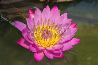 Carta Da Parati Fiori Di Loto : Bel fiore di loto rialzata rispetto alla superficie dellacqua