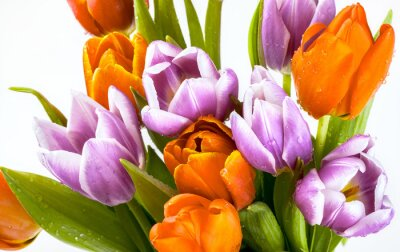 Carta da parati Bel mazzo di tulipani viola e rossi isolato su sfondo bianco