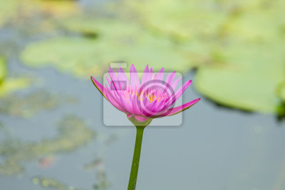 Carta Da Parati Fiori Di Loto : Bella giglio di acqua o fiore di loto nello stagno o palude carta