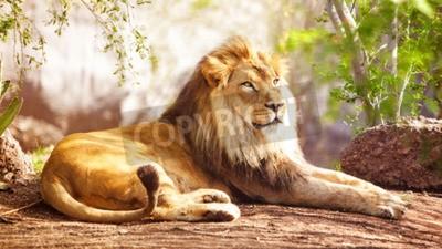 Carta da parati Bella grande leone africano, che stabilisce con gli alberi sullo sfondo