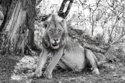 Carta da parati bella leone