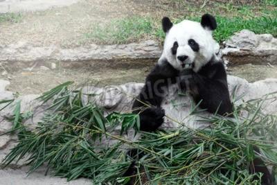 Carta da parati Bella panda che mangia bambù