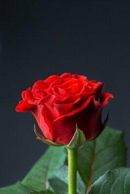 Carta da parati Bella rosa rossa