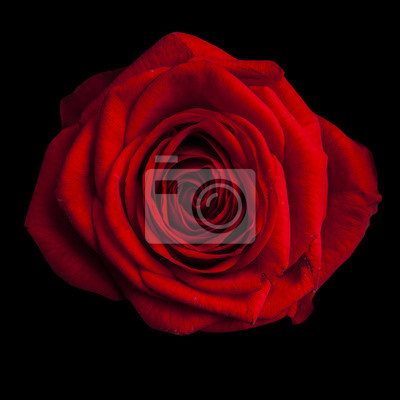 Bella Rosa Rossa Su Sfondo Nero Carta Da Parati Carte Da Parati