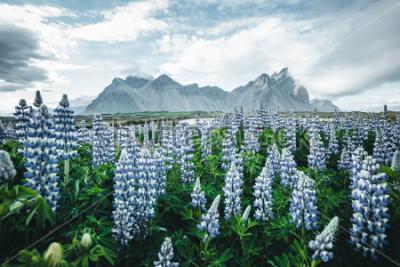 Carta da parati Bella vista dei fiori di lupino perfetto in giornata di sole. Posizione Stokksnes capo, Vestrahorn (Batman Mount), Islanda, Europa. Splendida immagine del paesaggio di natura estiva. Scopri la bellezz