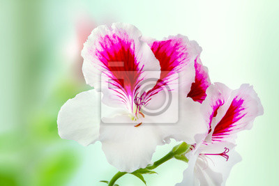 Fiori Bianchi Viola.Bellissima Pianta Di Fiori Pelargonium Fiorita Fiori Bianchi Viola